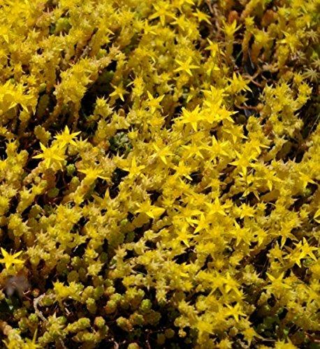 Scharfer Mauerpfeffer Yellow Queen - Gold-Mauerpfeffer - Sedum acre Yellow Queen (5-10)