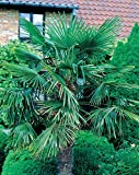 Palmier de jardin