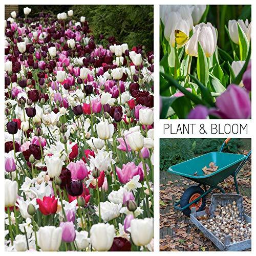 plant & bloom - bulbi da fiore, tulipani olandesi dall'olanda - 30 bulbi, semina autunnale, facile da coltivare, fioritura primaverile - rosa - qualità superiore olandese