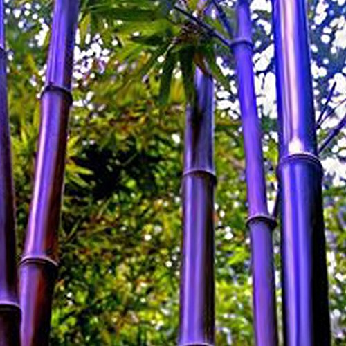 Moso-Bambus-Samen Phyllostachys Pubescens Gartenpflanzen, professionelles Set für Zuhause, Garten, Violett, Grün, 50 Stück -
