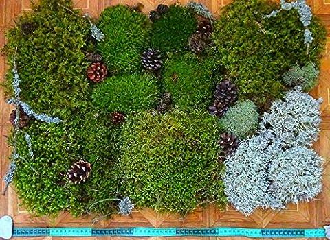 Super natural Moos-Set, verschiedene Arten von Moos Terrarium,Florarium, Palyudarium, Kränze, Dekorationen, violett ...
