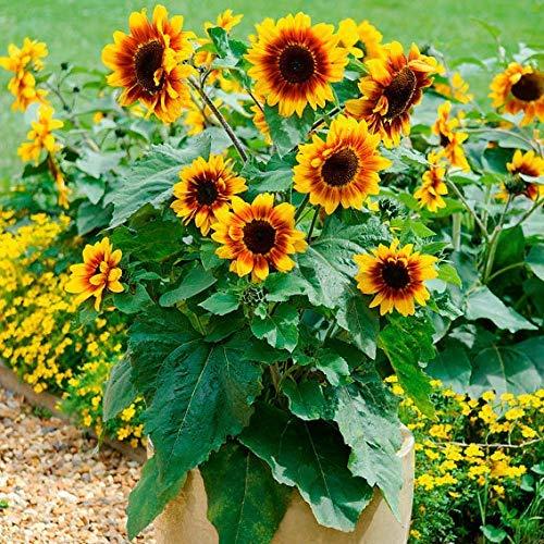 Sonnenblume 20 Samen (Anitra Perkins - Mini-Sonnenblumen Samen Gelb Balkon-Sonnenblumen Herbstzauber Sichtschutz Zierpflanzen für Garten Balkon/Terrasse (20))