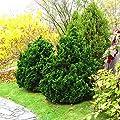 Zwerg Muschelzypresse - Chamaecyparis obtusa Nana Gracilis - verschiedene Größen von GardenPalms - Du und dein Garten