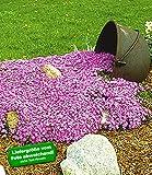 BALDUR-Garten Teppichphlox Emerald Pink winterharter Bodendecker 9 Pflanzen Polsterphlox Polster-Flammenblume Polsterstauden Teppichphlox Moosphlox mehrjährig Phlox subulata
