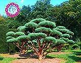 100Pcs / bag Heilige japanische Zeder Samen Pflanze