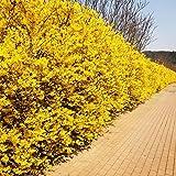 PLAT FIRM Semi di GERMINAZIONE: 200 forsizia pleureur Graine de Werte Garten Bonsai-Baum Kräuter Blume
