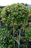 Kugelahorn Acer platanoides Globosum Kugelbaum Stammhöhe 160 cm, Stammumfang 7-8 cm, Container-/Ballenware