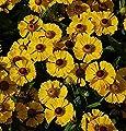 Sonnenbraut Goldrausch - Helenium cultorum von Baumschulen - Du und dein Garten
