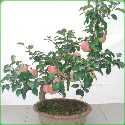 10-pc-sacchetto-reale-semi-di-geranio-perenne-fiore-piantare-i-semi-dei-bonsai-per-fioriere-giardino