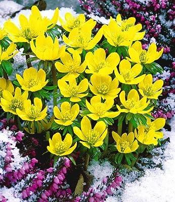 BALDUR-Garten Winterlinge-Sparangebot, 50 Zwiebeln Eranthis hyemalis, Winterling von Baldur-Garten bei Du und dein Garten