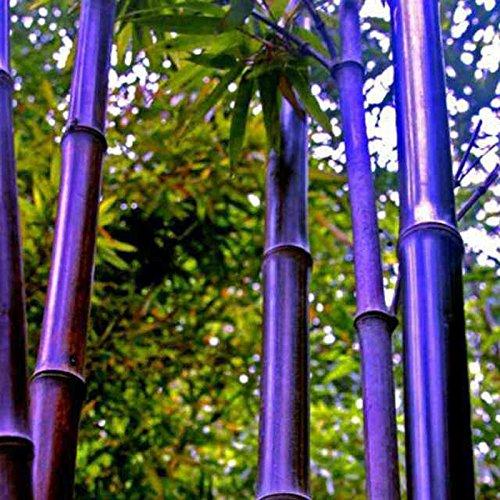 50 Stück / Packung Samen Seltene Lila Bambus Samen Glücksbambus Garten Pflanzen Samen Garten-Dekoration Bonsai Blumensamen Rot Lila Bambus