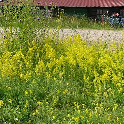 wildflower-ladys-bedstraw-500-seeds
