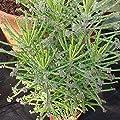 Kalanchoe tubiflora - Chandelier Plant - Mother of Millions - 4 Baby Pflanzen von CactusPlaza.com - Du und dein Garten
