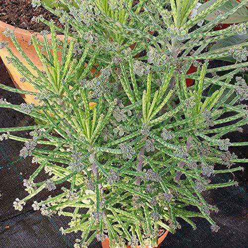 Kalanchoe tubiflora - Chandelier Plant - Mother of Millions - 4 Petites Plantes