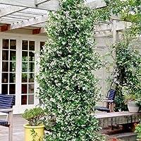 Gelsomino   Trachelospermum Jasminoides (per Balcone E Patio)   Vaso 1,5  Litro