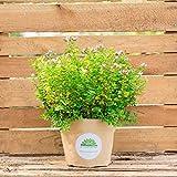 Oregano (Origanum vulgare) | Kommt im 14 cm Topf, Keine Jungpflanze | Kann ganzjährig geerntet werden | Mag es windgeschützt, warm und sonnig