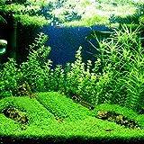 """1Packung Wassergrassamen """"Woopower Easy Grow"""", schnellwachsendes und doppelblättriges Gras für Aquarium, Teppichpflanze, Dekor für Aquarium, Aquariumpflanze, Pflanzensamen"""