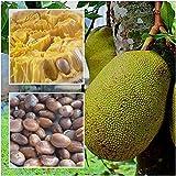 PLAT FIRM SEMI DI GERMINAZIONE: Artocarpus 10 Samen Jackfrucht Jakfruit Tropical einzigartige Fruchtsamen