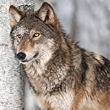 20 Servietten Wolf an Birke / Tiere / Tiermotiv 33x33cm