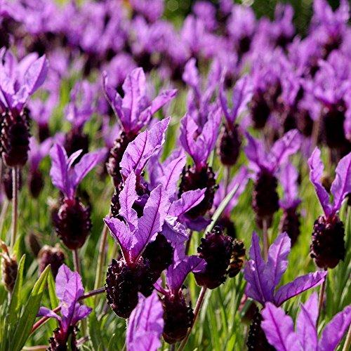 Französischer Lavendel, spanischer Lavendelsamen - Lavandula stoechas - 37 samen -