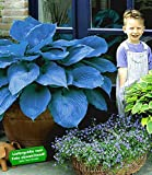 BALDUR-Garten Funkien Riesen Hosta blau 'Halycon', 2 Knollen