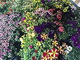 Sommerblumen bunter Mix, 8 schöne Beet & Balkon Pflanzen (z.B Schneeflockenblume, Zauberglöckchen, Verbenen, Petunien.)