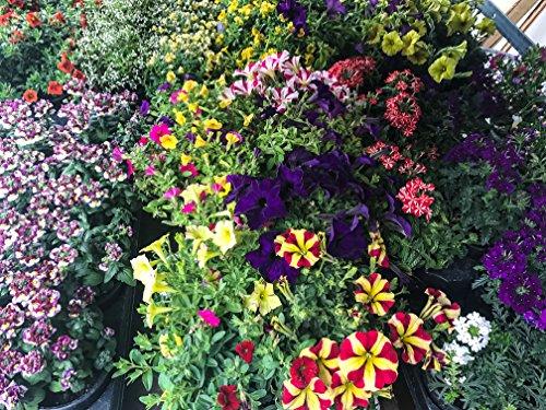 Sommerblumen bunter Mix, 8 schöne Beet & Balkon Pflanzen (z.B Schneeflockenblume, Zauberglöckchen, Verbenen, Petunien.) - Schöne Pflanzen