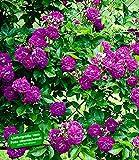 BALDUR-Garten Rambler-Rosen 'Bleu Magenta', 1 Pflanze