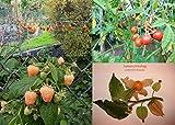 Beeren-Samen-Sortiment XL (Goji+Litchitomate+Himbeere Gelb+Physalis) 120++ Samen (Die Gartensensation) ###Winterhart und Einjährige Sorten###