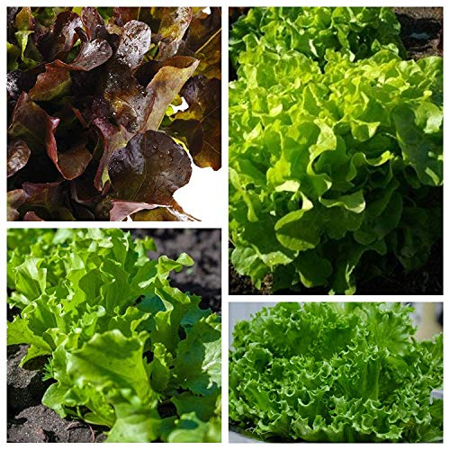 Oak-leaved lettuce - set of 4 vegetable plants' varieties