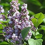 Grüner Garten Shop Flieder President Grevy Syringa vulgaris hellblaue gefüllte Blüte ca. 40-60 cm, Pflanze im 3 L Topf