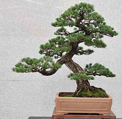 50 Stücke / Los Kiefer Samen Black Pine Bonsai-Baum-Samen Topfpflanzen Japanische Kiefer freies Verschiffen
