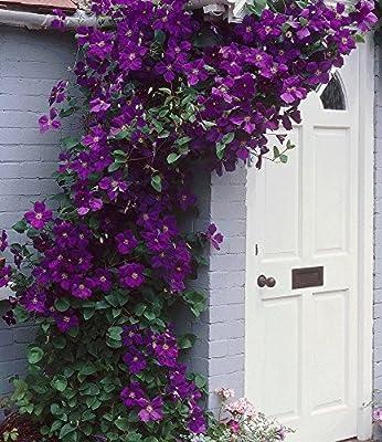 BALDUR-Garten Winterhart Clematis The President® Kletterpflanze, 1 Pflanze von Baldur-Garten bei Du und dein Garten