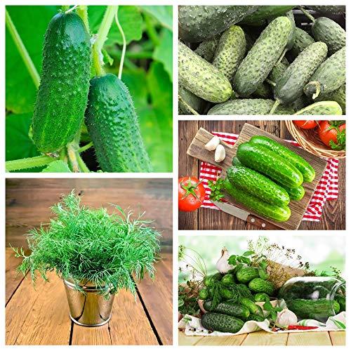 Beizgurken - Sorten ideal zum Beizen + Gartendill