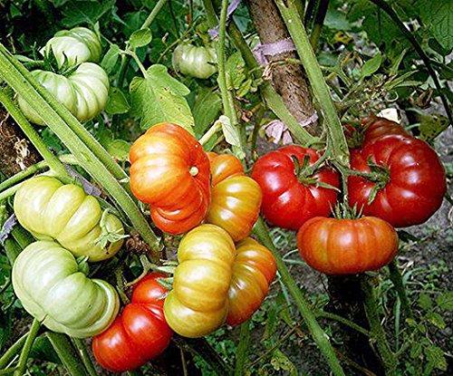 Tomaten-samen-keimung (Tomaten Marmande - 25 Samen)