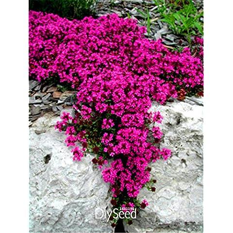 100pcs Cress, SEMI Aubrieta Cascade Fiore viola, Deer Resistente superba copertura del terreno perenne, semi di fiori per il giardino di casa