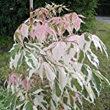 Acer negundo Flamingo - Weißbunter Eschenahorn