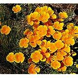 Asklepios-seeds® - 100 semillas Eschscholzia californica Amapola de California, campanilla, dedal de oro, escholtzia, rasete, raso, fernandos