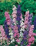 Imperial géant Larkspur 155+ Seeds couleurs Mix Bouquet de fleurs coupées papillons