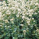 Portal Cool Blanc Jupiter Barbe Graines de fleurs/Centranthus Ruber Albus / 40 + Vivace