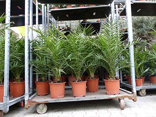 Palme 80-100 cm, Phoenix canariensis, kanarische Dattelpalme, winterhart