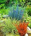 BALDUR-Garten Ziergras Farb-Mischung, 3 Pflanzen Imperata cylindica, Festuca glauca, Carex ashimens von Baldur-Garten bei Du und dein Garten