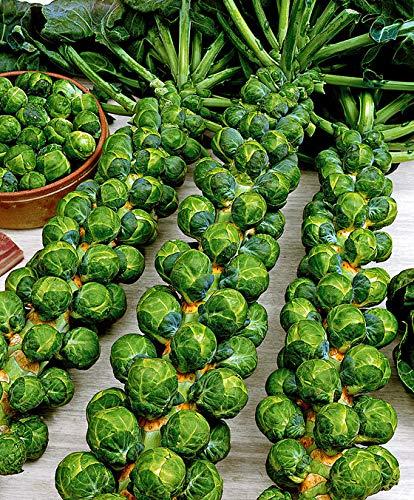 Qulista Samenhaus - 200pcs frostfest Rosenkohl \'Topline F1\' - Saat ertragreich Gemüse Samen Saatgut Bio winterhart mehrjährig