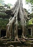 TROPICA - Buddha - Feige (Ficus religiosa) - 200 Samen