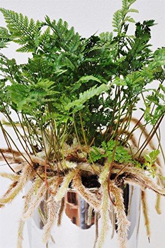 Palmenmann Farn (Tarantelfarn) - Humata tyermannii