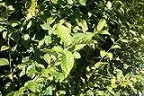 25 Stück Heckenpflanzen Weiß-Hainbuchen (carpinus betulus) Wurzelware 30-50 cm