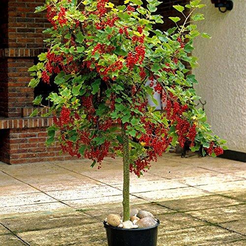 """Dominik Blumen und Pflanzen, Johannisbeere, Johannisbeere-Stämmchen """"Jonkher van Tets"""" rot, 1 Pflanze, ca. 80 cm hoch, 2 Liter Container, plus 1 Paar Handschuhe gratis"""