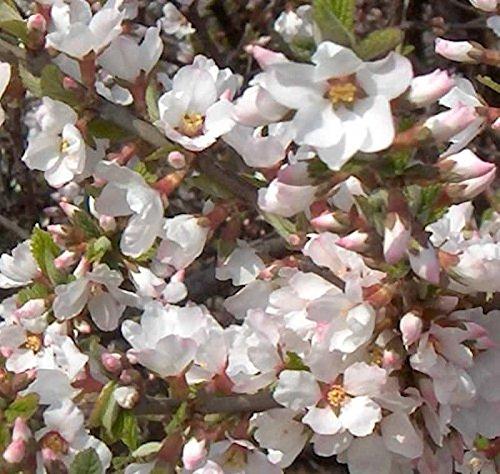 Zier Filzkirsche 30-40cm - Prunus tomemtosa