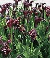"""BALDUR-Garten Calla """"Schwarzwalder"""", 1 Knolle Blumenzwiebel Zantedechia von Baldur-Garten - Du und dein Garten"""