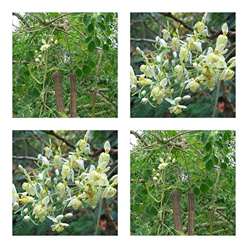 Moringa-bäume (Moringa oleifera - 20 Samen - Meerrettichbaum - frisch und keimfähig - !!!)